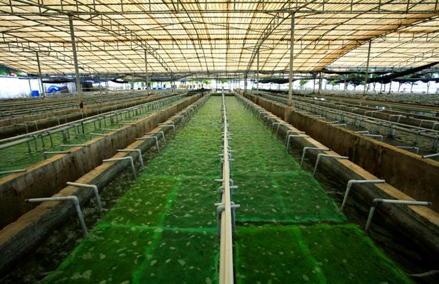 Vùng nuôi trồng rong nho